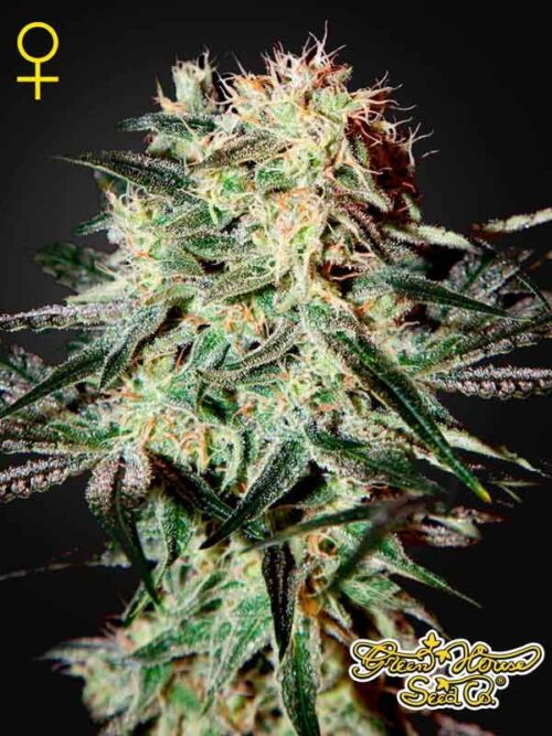 Arjan's Strawberry Haze Green House Seeds