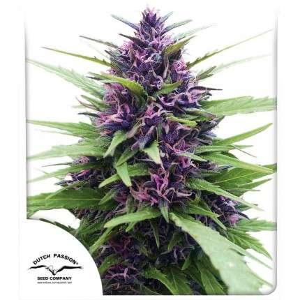 Nasiona marihuany Shaman