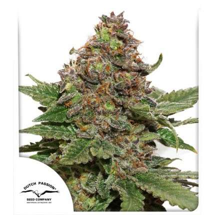 Dutch Passion Nasiona marihuany Strawberry Cough
