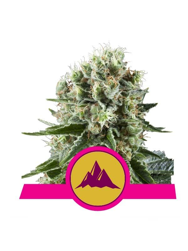 Critical Kursh Royal Queen Seeds