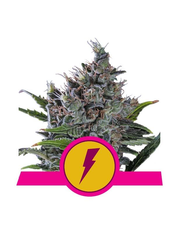 North Thunderfuck Royal Queen Seeds