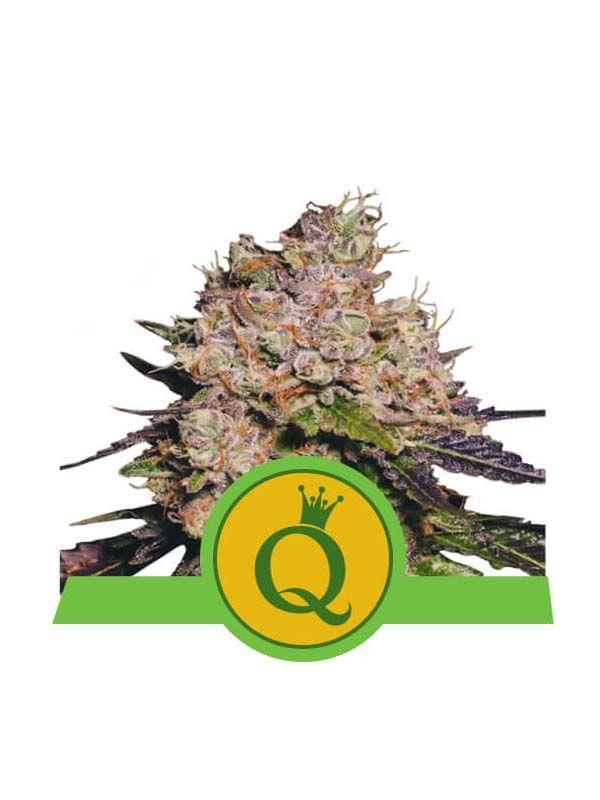 Purple Queen Auto Royal Queen Seeds