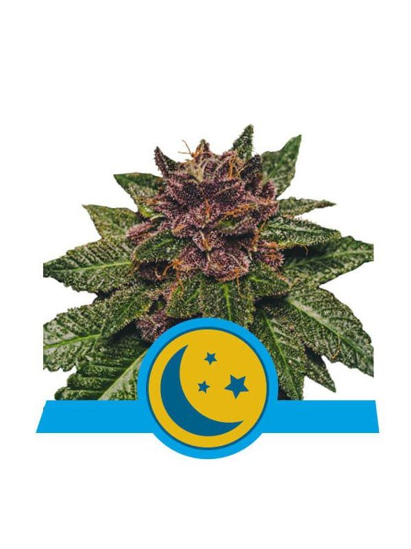 Purplematic Cbd Royal Queen Seeds
