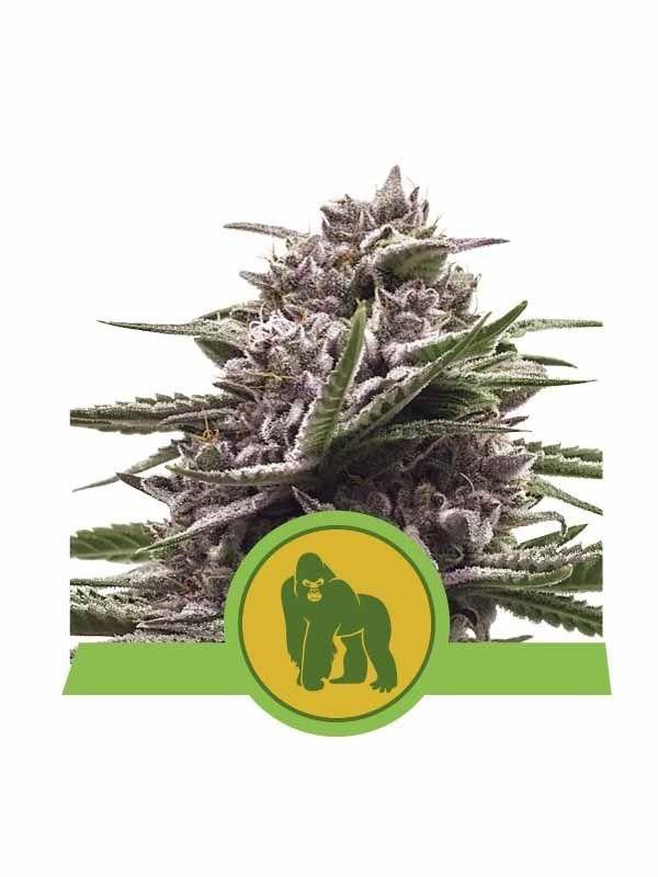 Royal Gorilla Auto Royal Queen Seeds