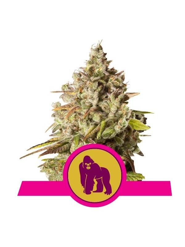 Royal Gorilla Royal Queen Seeds