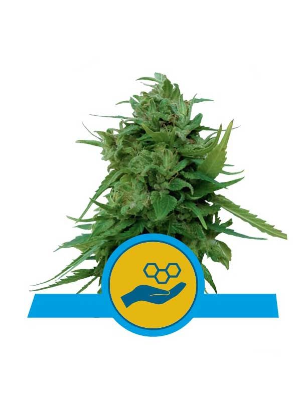 Solomatic CBD Royal Queen Seeds