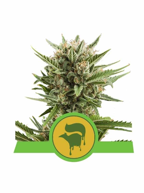Sweet Skunk AUTO Royal Queen Seeds