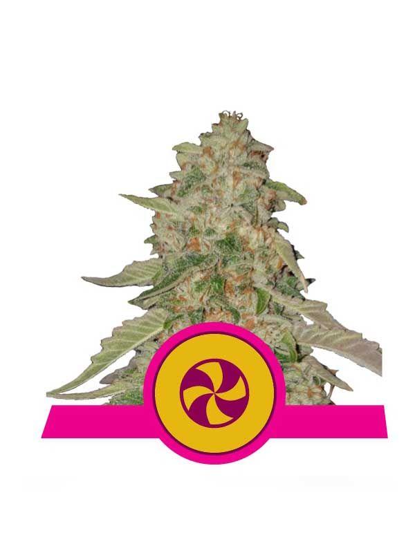 Sweet ZZ Royal Queen Seeds