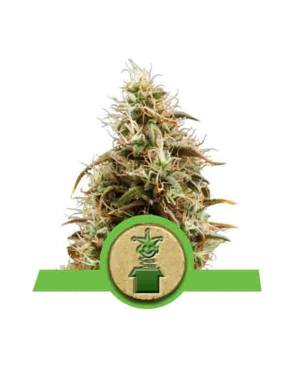 Royal Queen Seeds Royal Jack Auto