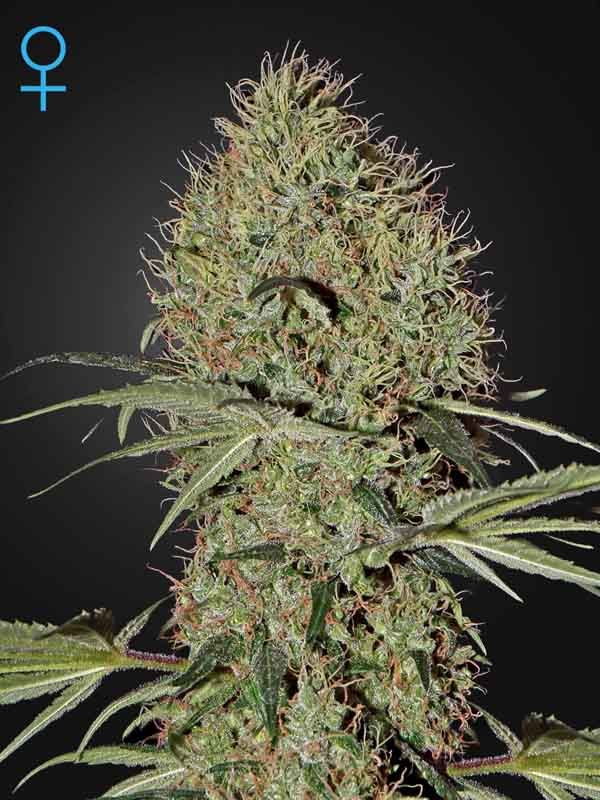 Super Bud Auto Green House Seed Nasiona marihuany