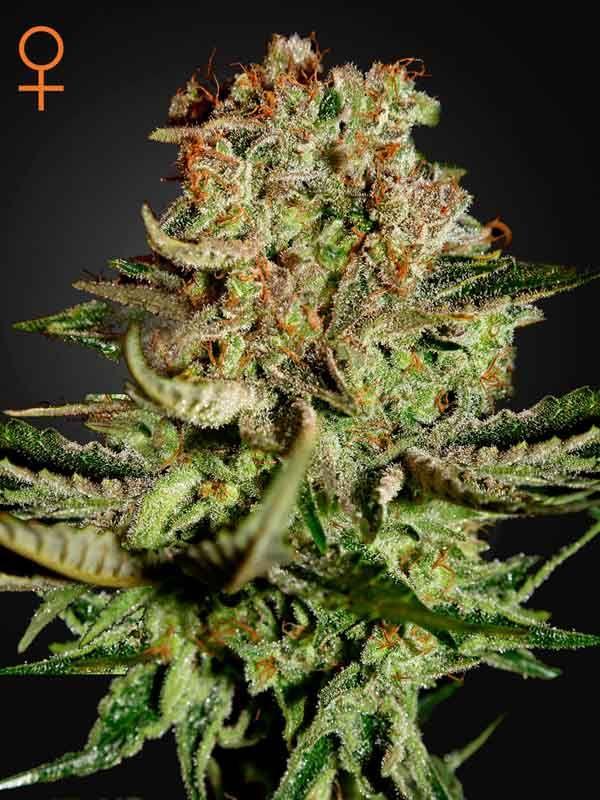 Super Bud Green House Seed Nasiona marihuany