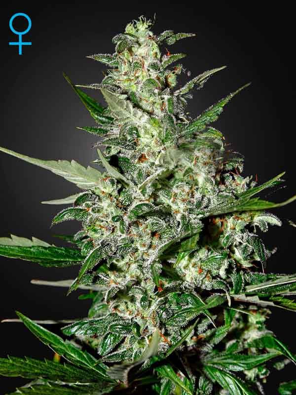 Super Critical Auto Green House Seed Nasiona marihuany