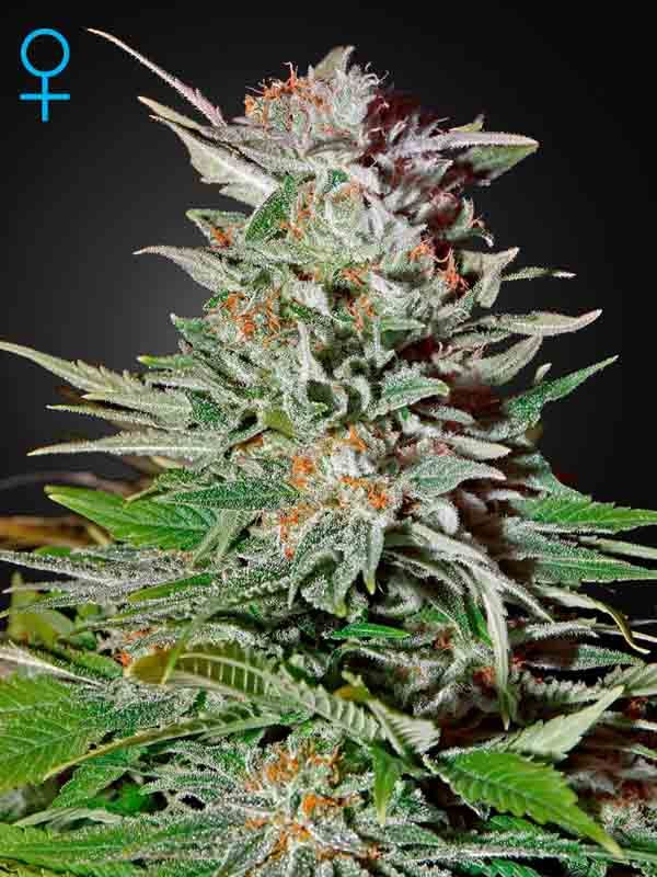 Super Lemon Haze Auto Green House Seed Nasiona marihuany