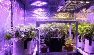 Nasiona marihuany i konopi uprawa indoor