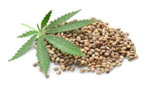 Nasiona marihuany i konopi feminizowane żeńskie
