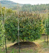 Nasiona marihuany i konopi outdoor