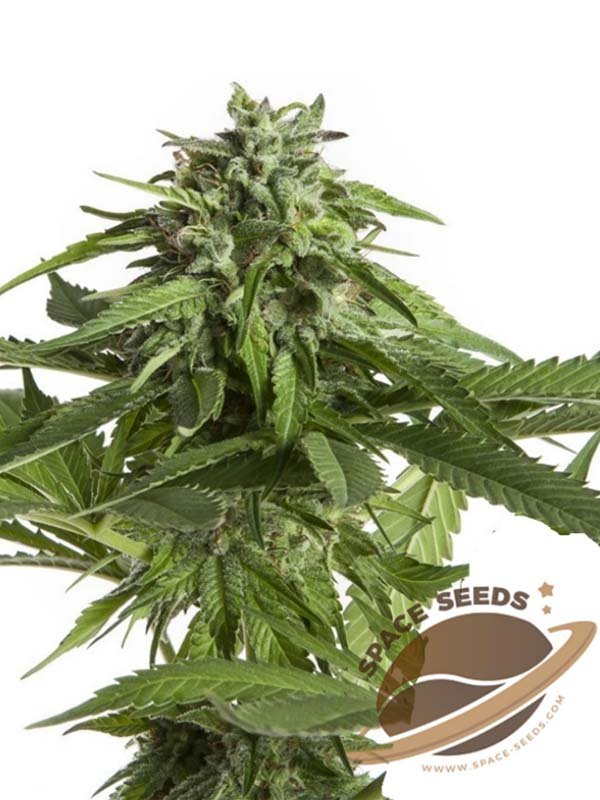 Space Super Skunk Space Seeds