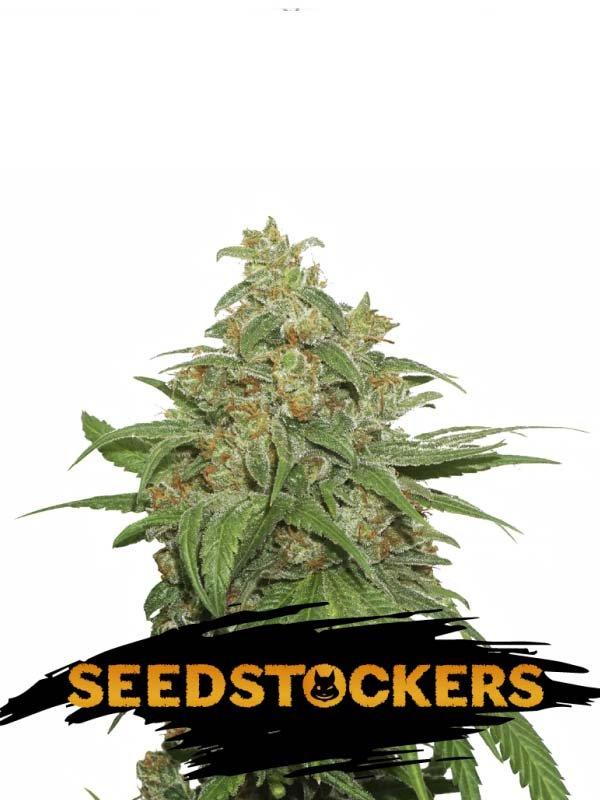 Ak420 Auto Seed Stockers