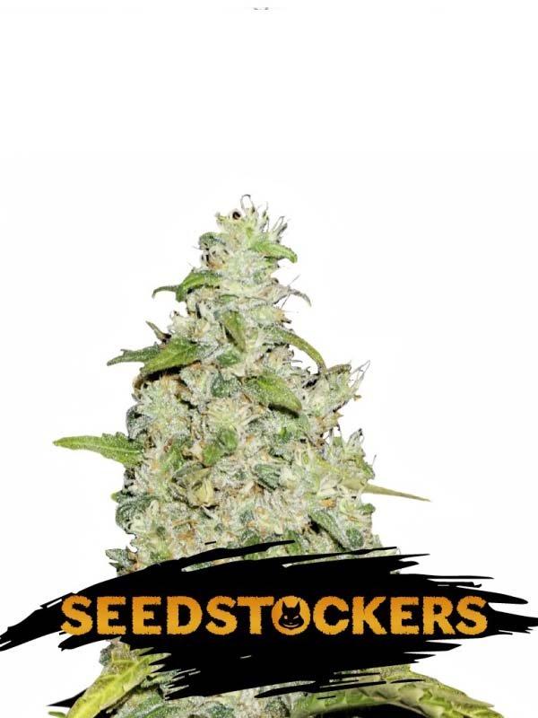 Amnesia Auto Seed Stockers