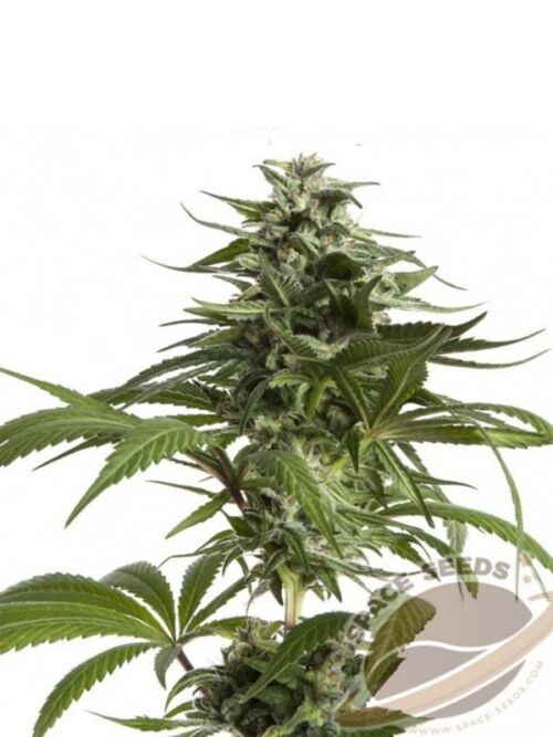 auto space critical mass space seeds