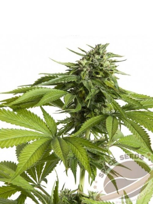 auto space destroyer space seeds