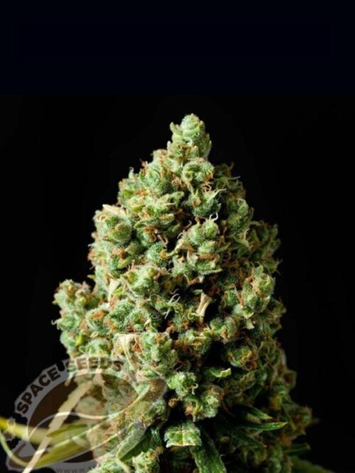auto space jack space seeds