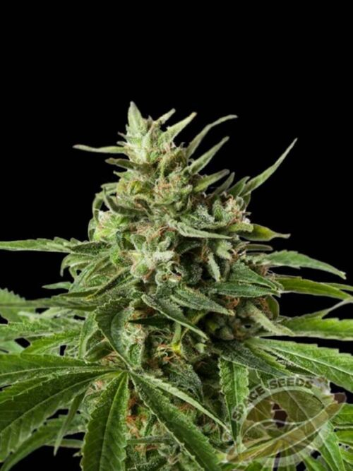 auto space northern light xxl space seeds 1